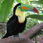 640px-Keel-billed_toucan,_costa_rica